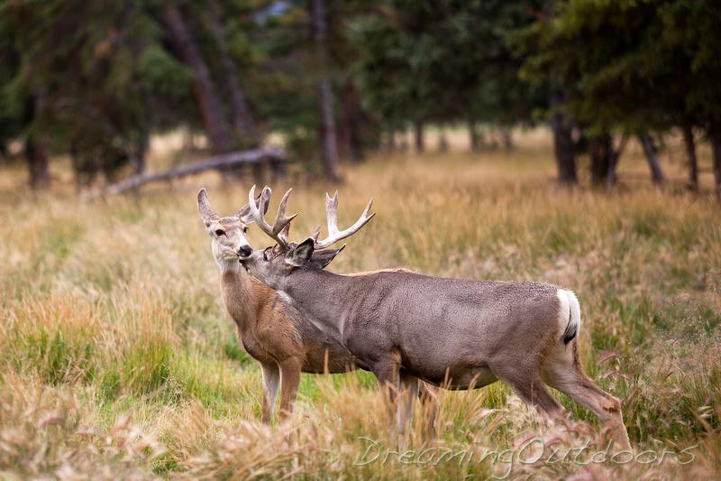 Mule Deer Kiss