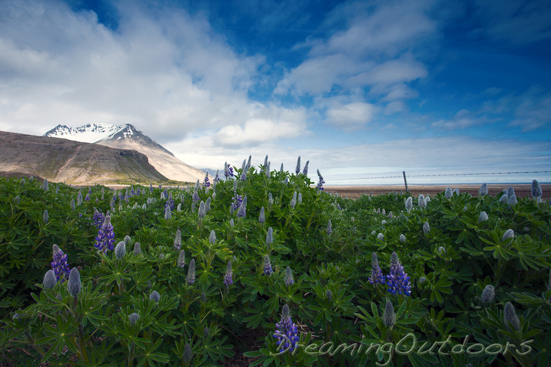 Lupins on the Fjord